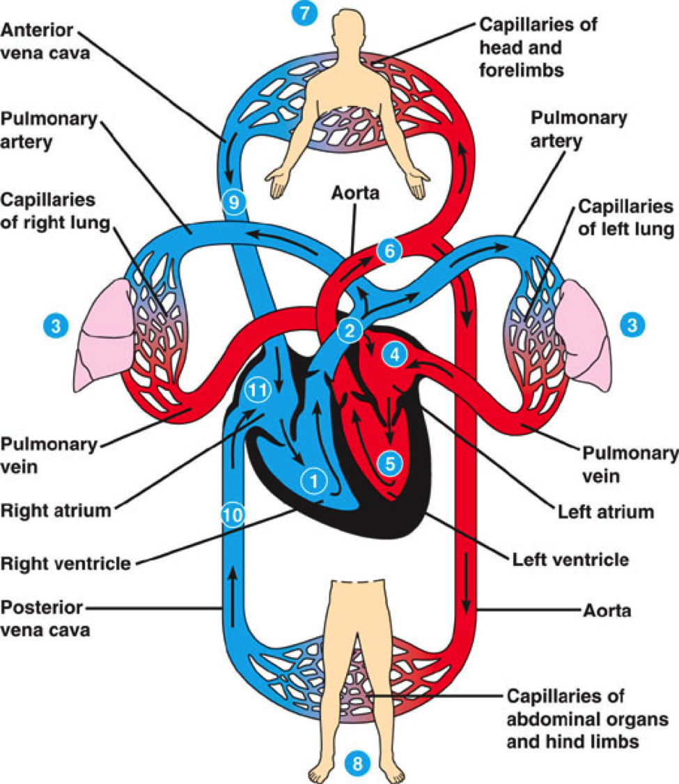 Cardiovascular System The Heart Foundation